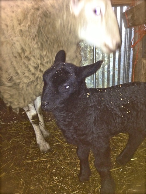 Baby lambs: awwww.